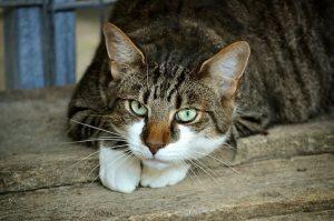 חתול מתבונן